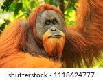 Portrait Of Male Sumatran...