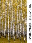 golden autumn  birch forest... | Shutterstock . vector #1118648507