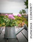 Pink Rose In Metal Watering Can