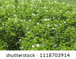 green potato bushes blooming... | Shutterstock . vector #1118703914