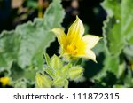 Yellow Flower Of Wild Cucumber...