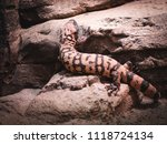 lizzard climbing on rocks... | Shutterstock . vector #1118724134