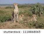 cheetah family in south africa | Shutterstock . vector #1118868065