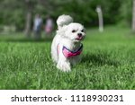 the dog runs on the grass | Shutterstock . vector #1118930231