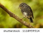 petroica longipes   north... | Shutterstock . vector #1118959514