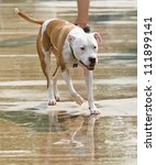 a pit bull mix at a public pool - stock photo