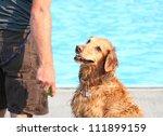 a golden retriever at a public pool - stock photo