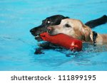 two labs with a pool toy at a public pool - stock photo