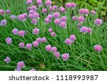 blooming violet onion plant in... | Shutterstock . vector #1118993987