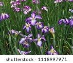 iris versicolor  variegated... | Shutterstock . vector #1118997971