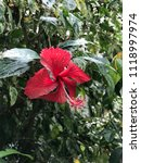 red hibiscus flowers with rain... | Shutterstock . vector #1118997974