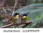 this small songbird  indigenous ... | Shutterstock . vector #1118999699