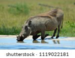 warthog having a drink at the...   Shutterstock . vector #1119022181