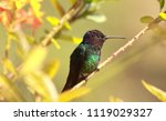 golden tailed sapphire male... | Shutterstock . vector #1119029327