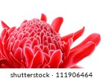 Tropical Flower Red Torch...