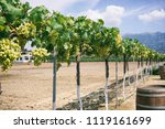 white grape vines on a sunny day | Shutterstock . vector #1119161699