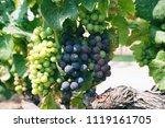 white grape vines on a sunny day | Shutterstock . vector #1119161705
