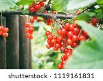 red currant on a branch | Shutterstock . vector #1119161831