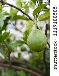 green teak trees after rain | Shutterstock . vector #1119188585