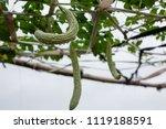 balsam pear growing in farmland | Shutterstock . vector #1119188591