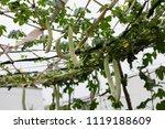 balsam pear growing in farmland | Shutterstock . vector #1119188609