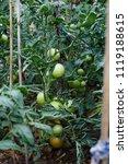 green tomatoes growing in fields | Shutterstock . vector #1119188615