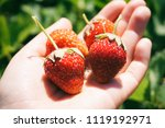 sunny strawberries on a hand... | Shutterstock . vector #1119192971