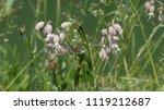 silene vulgaris  the bladder... | Shutterstock . vector #1119212687