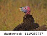 lappet faced vulture  aegypius...