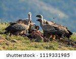 griffon vulture   gyps fulvus ...   Shutterstock . vector #1119331985