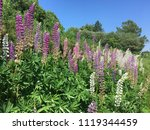 the lupine flower growing for... | Shutterstock . vector #1119344459