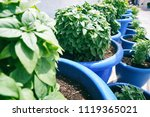 blue pots with fresh basil | Shutterstock . vector #1119365021