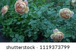 Stock photo beautiful pink and beige rose bush in english countryside garden green nature background with 1119373799