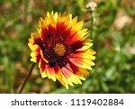 Flowers Gaillardia Pulchella