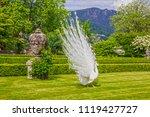 stresa  italy. white peafowl... | Shutterstock . vector #1119427727