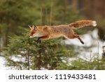 Red Fox  Vulpes Vulpes  Is...