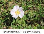 White Low Prairie Rose With...