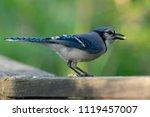 blue jay eating  | Shutterstock . vector #1119457007