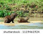 Two Capybaras On River Bank....