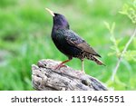 European starling showing his...