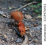 red squirrel in autumn forest | Shutterstock . vector #1119476411