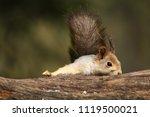 a red squirrel  sciurus... | Shutterstock . vector #1119500021