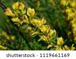 cytisus scoparius  the common... | Shutterstock . vector #1119661169