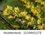 cytisus scoparius  the common... | Shutterstock . vector #1119661175