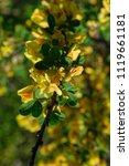 cytisus scoparius  the common... | Shutterstock . vector #1119661181