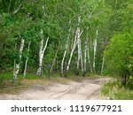 very beautiful spring birch... | Shutterstock . vector #1119677921