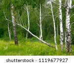 very beautiful spring birch... | Shutterstock . vector #1119677927