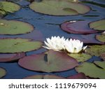 beautiful white lilies on the... | Shutterstock . vector #1119679094