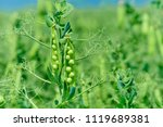 Small photo of Beautiful close up of green fresh peas and pea pods. Healthy food. Selective focus on fresh bright green pea pods on a pea plants in a garden. Growing peas outdoors and blurred background.