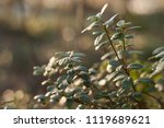 lingonberry foliage in sunset...   Shutterstock . vector #1119689621
